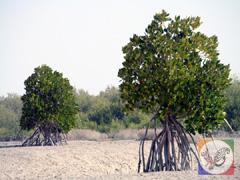منطقه طبیعی و بکر جنگل های حرا در جزیره قشم، عکس از آنوبانینی،