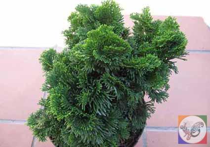 درخت سرو