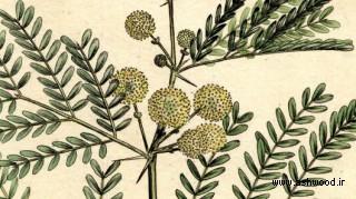 درخت اکاسیا , کرت , بابل