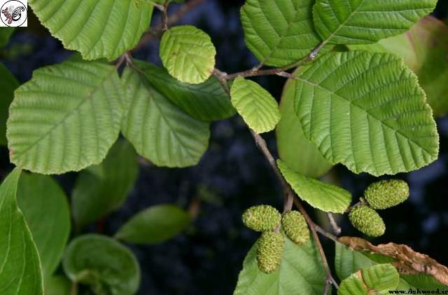 انواع چوب , چوب درخت توسکا