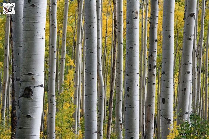دانستنی هایی راجع به درخت و چوب صنوبر