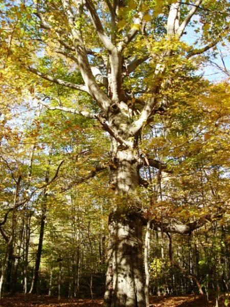 Fagus orientalis راش شرقی ؛ چوب راش