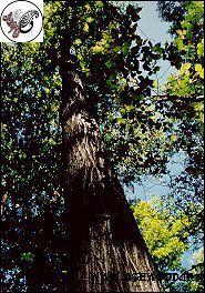چوب گردوی سفید آمریکا