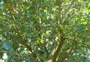 عکس درخت نارون چوب ملچ