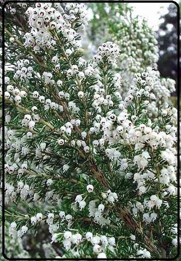 نام علمی: Erica arborea طبقه: گونه ردهبندی بالاتر: خلنگ