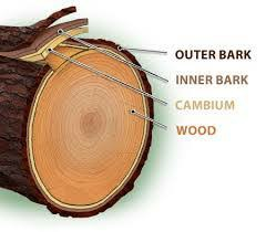 کامبیوم چیست , انواع چوب