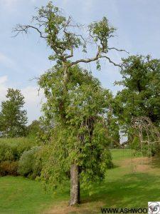 چوبو درختروکش چوب اش و زبان گنجشک ,چوبو روکش ASHWOOD