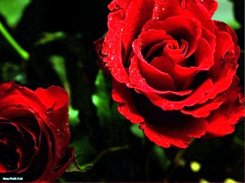 تصاویر با کیفیت و HD ااز گل و طبیعت