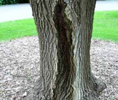 نارون ، درخت نارون ، چوب نارون