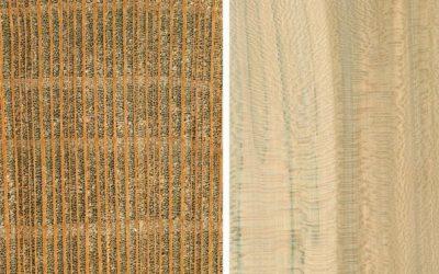 چوب چنار, معرفی درخت چنار اروپایی