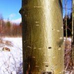 درباره دخت صنوبر , تبریزی , چوب سپیدار