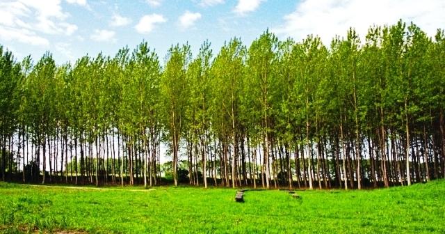 درباره درخت صنوبر , تبریزی , چوب سپیدار