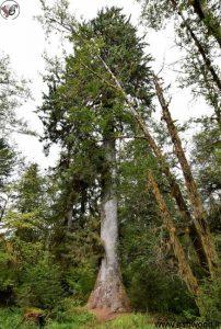Sitka Spruce در جنگل باران Hoh در پارک ملی المپیک.