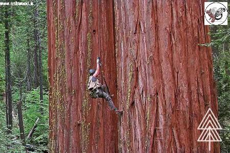 ردوود(Red wood) دیرسالترین و محکمترین درخت جهان