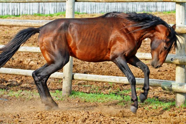 اسب کاسپین