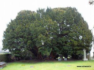 Llangernyw سرخدار ممکن است قدیمی ترین درخت در اروپا است.