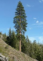 درخت کاج زرد