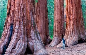 چوب ماموت (Redwood)