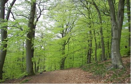 جنگل های چوب راش در مناطق معتدل
