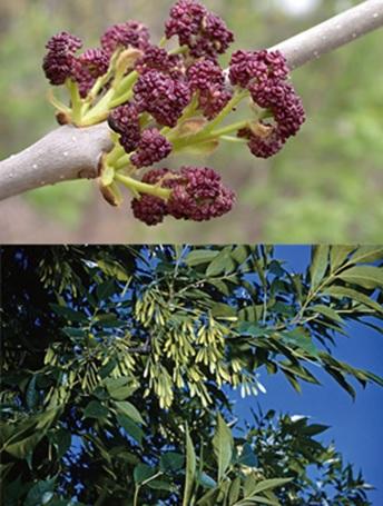 چوب درخت زبان گنجشک-گل و برگهای درخت زبان گنجشک