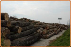 تنه و کنده درختان آماده جهت استفاده در صنعت بزرگ چوب