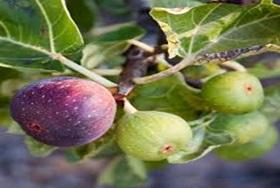 میوه درخت انجیرکه به دو رنگ می باشد