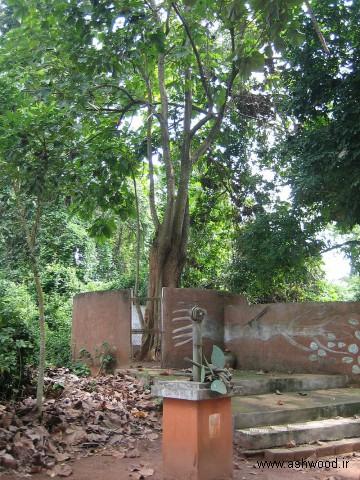درخت ایروکو چوب ساج افریقایی