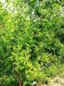 درخت و چوب عناب