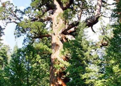 درخت و جنگل در صنایع چوب