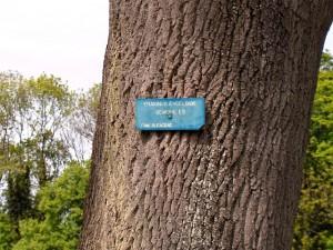 چوب اش ، چوب درخت ون یا زبان گنجشک ash wood