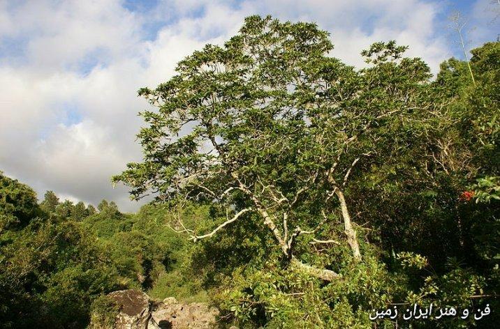 درخت سرده  خیز نی