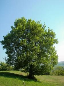 درخت افرا با چوبی بسیار عالی برای درودگری