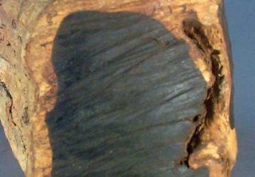 چوب و درخت آبنوس در خطر انقراض