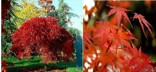 چوب درخت افرا - افرا سرخ یا قرمز