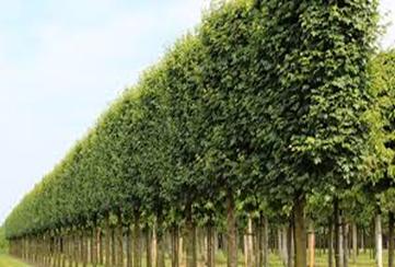 چوب درخت افرا-درخت کرب
