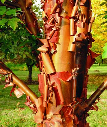 درخت افرا پوست کاغذی