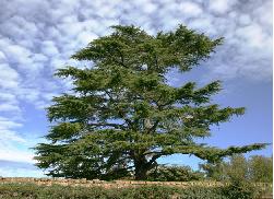 چوب نرم- درخت چوب نرم