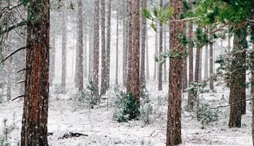 تخته روسی – درختان یولکا روسی