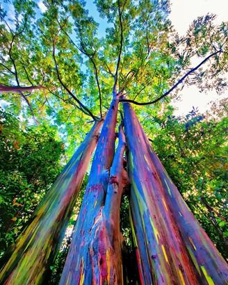 دانستنی هایی راجع به چوب درخت اکالیپتوس -  آشنایی با درخت اکالیپتوس و کاربرد های آن
