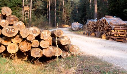 چوب درخت کاج مورد استفاده برای تولید کاغذ