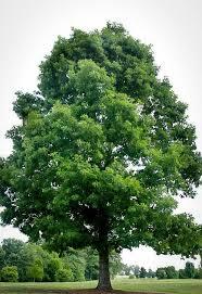 درخت بلوط سفید