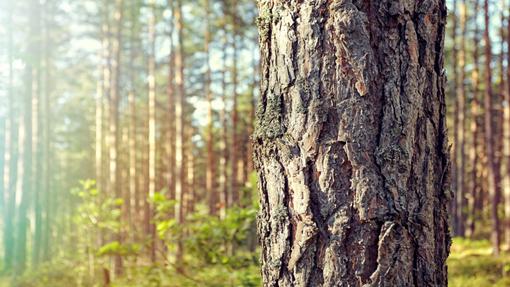 همه چیز راجع به تنه ی درخت -  آشنایی با تنه ی درخت