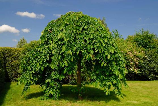 چوب راش- راش شاخه آویخته یا گریان