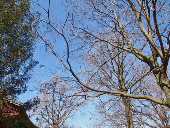 چوب راش- راش آبی ژاپنی