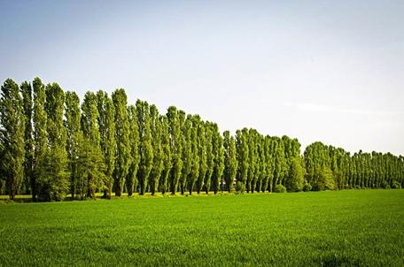 همه چیز راجع به درخت و چوب سپیدار -  آشنایی با درخت سپیدار