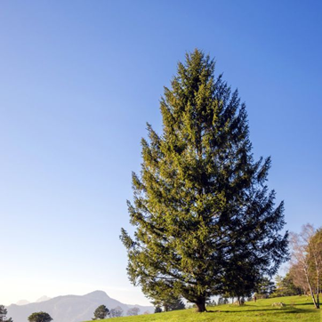 دانستنی هایی راجع به درخت و چوب صنوبر -  آشنایی با درخت صنوبر