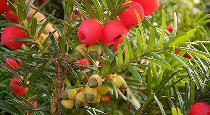 چوب سرخ- میوه و برگ درخت سرخ دار