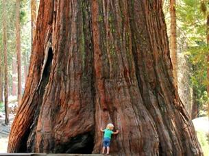 چوب سرخ- عظمت درخت سکویا یا ماموت