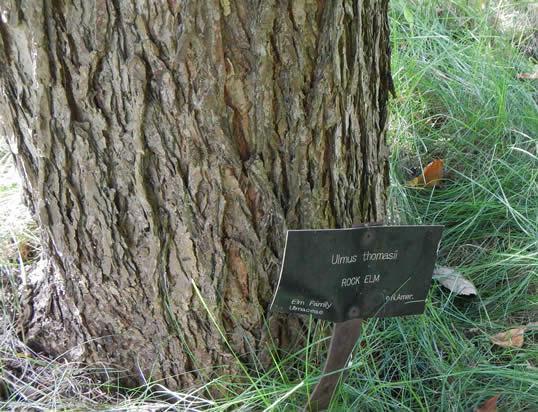چوب ملچ- تنه درخت ملچ سنگی
