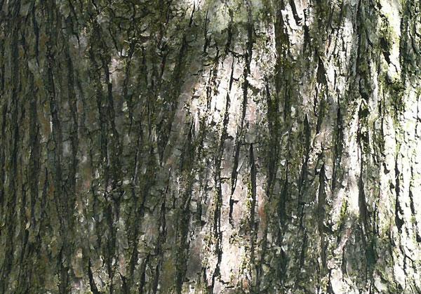 چوب ملچ- تنه درخت ملچ انگلیسی